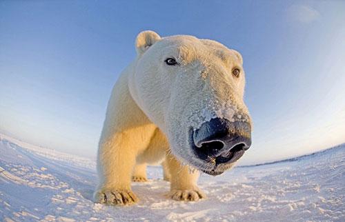 Russland. Ein Eisbär